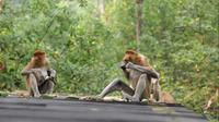 Wisatawan bisa melihat dan berinteraksi dengan Bekantan, jenis monyet asli dari Kalimantan di Tarakan