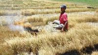 Seorang petani di Gorontalo membakar sawahnya yang gagal panen lantaran kekurangan pasokan air di musim kemarau. Setidaknya ada puluhan hektare sawah di Gorontalo yang gagal panen akibat kekurangan pasokan air. (Liputan6.com/ Arfandi Ibrahim)