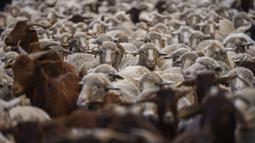 Kawanan domba memasuki Kota Madrid, Spanyol, Minggu (24/10/2021). Para gembala memandu domba melewati jalan-jalan Madrid untuk membela hak penggembalaan dan migrasi kuno yang semakin terancam oleh urban sprawl dan praktik pertanian modern. (AP Photo/Manu Fernandez)