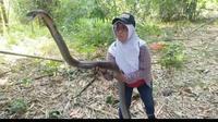 Iin Ayu, wanita berjulukan Ratu King Kobra Purwokerto menangkap sepasang king kobra raksasa di kebun warga. (Foto: Liputan6.com/Dok. Iin Ayu)
