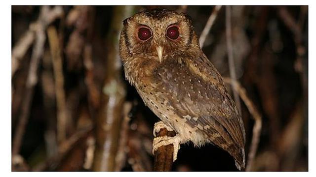 Jenis Burung Hantu Paling Populer