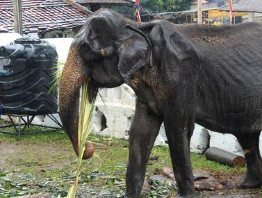 Viral di Medsos, Begini Kondisi Menyedihkan Gajah Kurus Tikiri