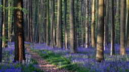 Bunga bluebells liar, yang mekar sekitar pertengahan April, mengubah lantai hutan menjadi biru, membentuk karpet di Hallerbos, juga dikenal sebagai 'Hutan Biru', dekat Halle, Belgia (18/4). Meski liar, Pemandangan bunga  bluebell terlihat sangat indah. (Reuters/Yves Herman)