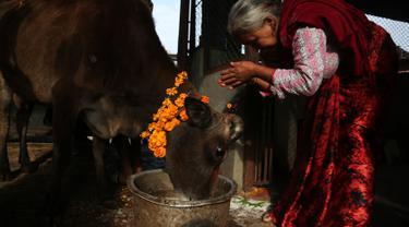 Umat Hindu Nepal melakukan ritual pemujaan kepada seekor sapi selama festival Tihar di Kathmandu, 28 Oktober 2019. Sapi dianggap suci oleh umat Hindu dan disembah selama festival Tihar, salah satu festival paling penting yang dipersembahkan untuk Dewi kekayaan Laxmi. (AP/Niranjan Shrestha)