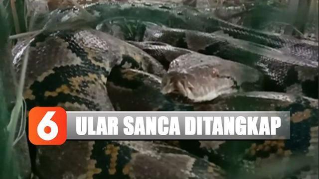 Seekor ular sanca sepanjang empat meter ditangkap warga Tegal, Jawa Tengah, karena memangsa unggas peliharaan.