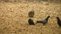 Setelah beberapa kali mencoba, akhirnya kucing tersebut berhasil mendapatkan seekor burung merpati untuk menjadi santapannya.