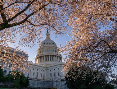 Bunga Sakura di Washington