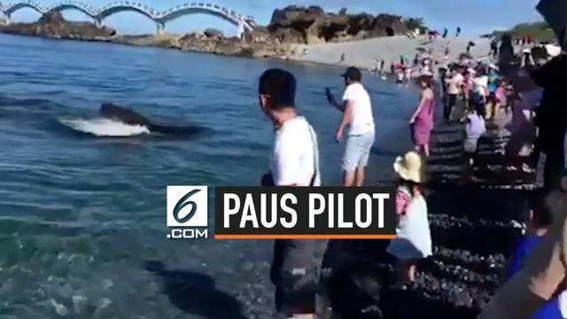 Paus pilot tiba-tiba muncul di Pantai Taitung Taiwan. Peristiwa ini mengejutkan para pengunjung yang sedang berkerumun di pinggir pantai.