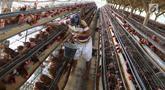 Pekerja mengumpulkan telur dari peternakan ayam di kawasan Depok, Jawa Barat, Senin (23/7). Tingginya harga telur ayam di pasaran karena tingginya permintaan saat lebaran lalu yang berimbas belum stabilnya produksi telur. (Liputan6.com/Immanuel Antonius)