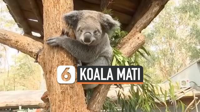 Kebakaran hebat terjadi di kawasan New South Wales, Australia. Kebakaran mengakibatkan ratusan koala mati dan bangkainya ditemukan petugas pemadam.