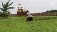 Petani beraktivitas di antara tanaman kangkung di lahan pertanian kawasan Rorotan, Cilincing, Jakarta Utara, Selasa (5/1/2021). Berdasarkan data Dinas Ketahanan Pangan, Kelautan, dan Perikanan Provinsi DKI, hanya terdapat sekitar 414 hektare lahan sawah di Ibu Kota. (Liputan6.com/Herman Zakharia)