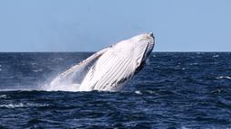 Seekor paus bungkuk muncul ke permukaan air di Teluk Jervis, Sydney selatan, Australia, pada 23 September 2020. (Xinhua/Bai Xuefei)