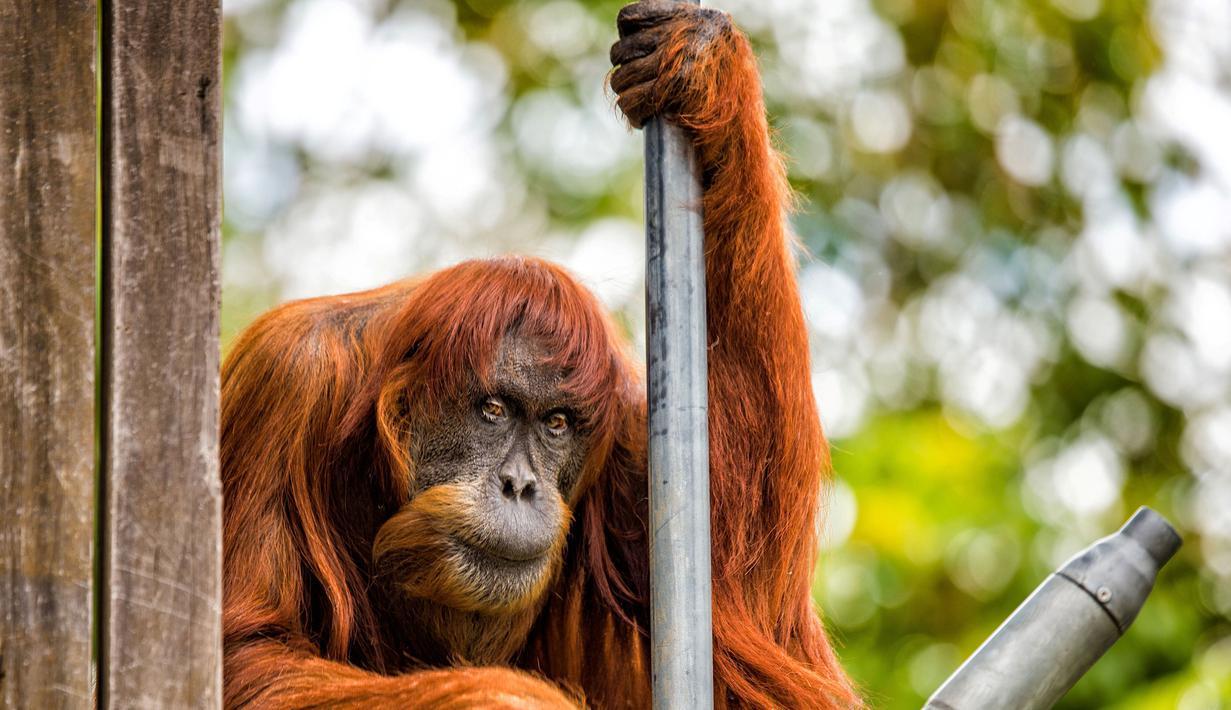 Puan, orangutan terlihat beristirahat di Kebun Binatang Perth di Australia (27/10). Puan 60 tahun kini telah memiliki 11 anak dan dinyatakan masuk catatan Guiness World Record sebagai orangutan Sumatera tertua di dunia. (Perth Zoo/Alex Asbury/ REUTERS)