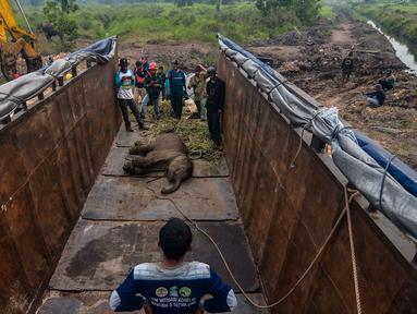 Petugas medis Balai Besar Konservasi Sumber Daya Alam (BBKSDA) Provinsi Riau mengevakuasi seekor anak gajah sumatera liar yang terluka di Siak, Riau, Rabu (16/10/2019). Gajah sumatera jantan berumur setahun itu terluka di kaki akibat jerat pemburu sehingga tertinggal dari kawanannya. (WAHYUDIE/AFP)