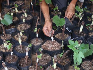 Pembibitan tanaman buah anggur di kampung anggur Tangerang, Minggu (22/11/2020). Bibit tersebut dijual kisaran 20 ribu untuk yang lokal dan jenis parian impor 125 ribu dan banyak di pesan dari luar kota, sehingga dapat menjadi roda perekonomian warga sekitar. (Liputan6.com/Angga Yuniar)