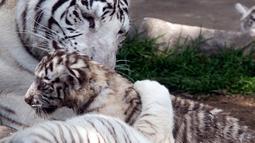 Induk harimau bengal, Clarita bersama dua dari tiga anaknya di Kebun Binatang Huachipa, Lima, Peru, Selasa (30/10). Pihak kebun binatang membuka kompetisi untuk memberikan nama bagi tiga bayi Clarita yang berusia 8 minggu. (Cris BOURONCLE/AFP)