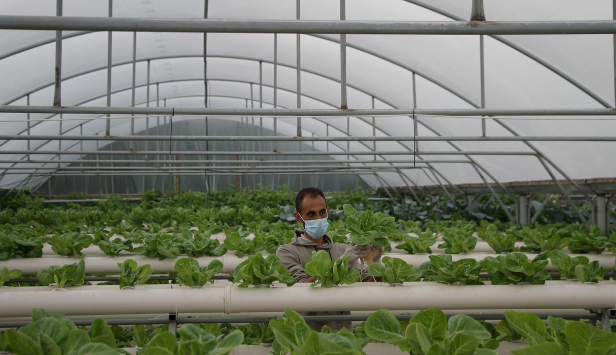 Abdullah Abu Halima memeriksa tanaman selada di pertanian hidroponik miliknya di Kota Beit Lahia, Jalur Gaza utara (25/11/2020). Petani Palestina tersebut menanam selada, brokoli, kacang-kacangan, peterseli, daun bawang dan jenis sayur lainnya dengan metode irigasi khusus. (Xinhua/Rizek Abdeljawad)
