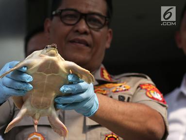 Polisi menunjukkan kura-kura moncong babi saat rilis perdagangan satwa dilindungi di Polda Metro Jaya, Jakarta, Rabu (26/9). Subdit Sumdaling Ditreskrimsus Polda Metro Jaya mengungkap penjualan satwa dilindungi di media sosial. (Merdeka.com/Imam Buhori)