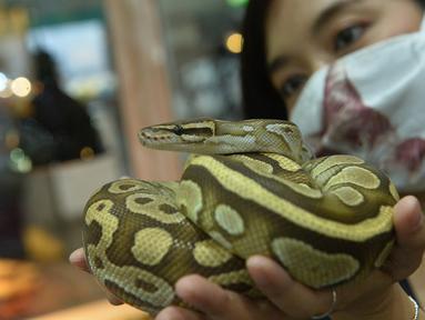 Seorang wanita memegang seekor ular sanca bola dalam Pameran Hewan Peliharaan Thailand 2020 di Bangkok International Trade and Exhibition Center (BITEC), Bangkok, Thailand, 3 September 2020. Ajang yang digelar selama empat hari itu akan berlangsung hingga 6 September. (Xinhua/Rachen Sageamsak)