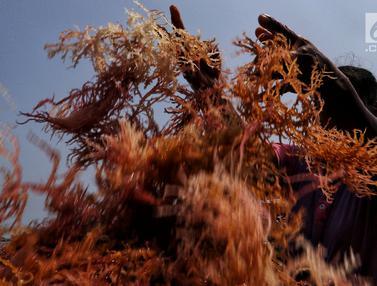 Menengok Budidaya Rumput Laut di Pulau Panggang