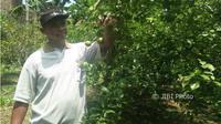 Maiful Hadi menunjukkan buah jeruk di kebun jeruk miliknya di Jl. Anjani No. 13, RT 013/RW 003, Kelurahan Pakunden, Kecamatan Ponorogo, Selasa (27/3/2018). (Abdul Jalil/JIBI/Madiunpos.com)