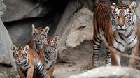 Empat harimau Sumatra muda bersama ibunya  Mayang saat berada di kandangnya di kebun binatang di Berlin, Jerman (22/11). Empat anak Harimau Sumatera ini diberi nama Oscar, Willi, Seri dan Kiara. (AP Photo/Michael Sohn)