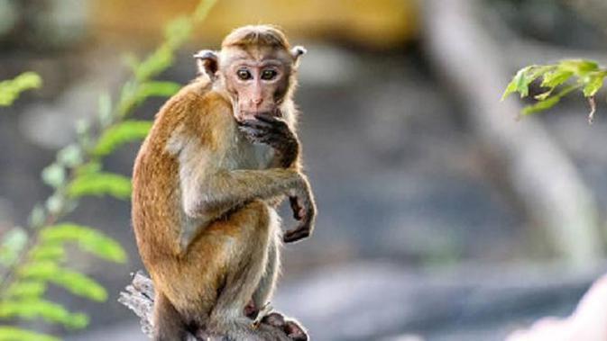 Kemenkes Tegaskan Cacar Monyet Bisa Sembuh Tanpa Pengobatan Khusus