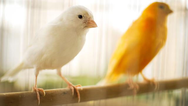 6 Cara Merawat Burung Kenari Untuk Pemula Kenali Karakteristiknya Lifestyle Liputan6 Com