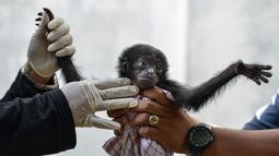 Seekor bayi siamang mendapat perawatan dokter hewan di Balai Konservasi Sumber Daya Alam (BKSDA) Banda Aceh, Aceh, Kamis (1/11). Bayi siamang ini harus mendapatkan perawatan secara intensif setiap saat. (CHAIDEER MAHYUDDIN/AFP)