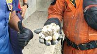 Petugas menemukan telur ular kobra di perumahan di Bogor. (Liputan6.com/Achmad Sudarno)