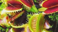 Kantong Semar, tanaman penjebak serangga (Li[putan6.com / Ahmad Yusran)