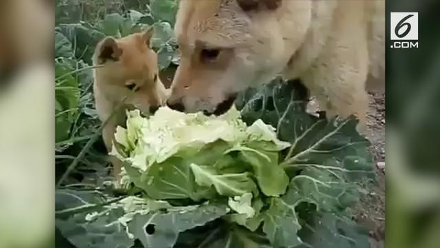 Beredar sebuah video yang menunjukkan dua ekor anjing sedang makan sayur kol. Warganet pun bereaksi dengan mengaitkannya dengan lagu viral 'Sayur Kol'.