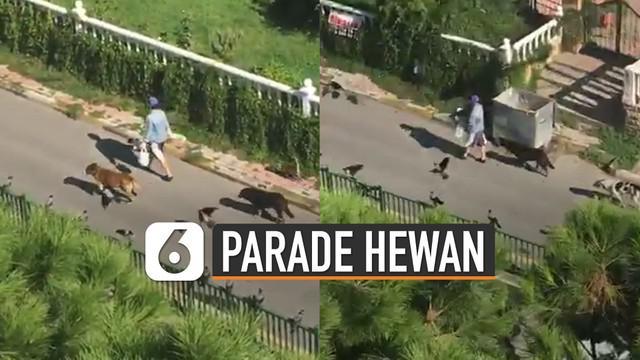 Seorang wanita yang sedang berjalan dan sering memberikan makanan pada hewan-hewan liar ini. Membuat jalanan seperti ada parade hewan.