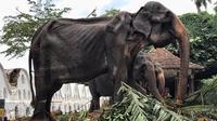 Gajah parade di Sri Lanka yang dibiarkan kelaparan hingga kurus kering. (dok. Facebook @Save Elephant Foundation)