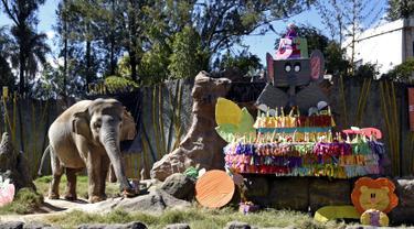 Gajah bernama Trompita merayakan ulang tahun ke-57 di Kebun Binatang Aurora, Guatemala City, Guatemala, Minggu (18/2). Gajah tersebut mendapat hadiah kue yang terbuat dari sayuran dan buah-buahan. (JOHAN ORDONEZ/AFP)