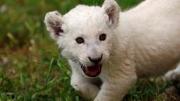 Seekor singa putih yang baru lahir, bernama Simba, terlihat di kebun binatang Paphos, Siprus pada 14 April 2019. Singa putih merupakan satwa nokturnal atau aktif di malam hari dan hidupnya berkelompok di alam bebas. (REUTERS/Yiannis Kourtoglou)