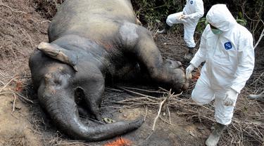 Petugas dan dokter hewan dari lembaga konservasi Aceh memeriksa gajah betina yang ditemukan mati karena keracunan di Desa Semanah Jaya, Aceh Timur, Kamis (21/11/2019). Bangkai gajah betina berusia 25 tahun itu ditemukan di sebuah perkebunan kelapa sawit pada hari ini. (CEK MAD/AFP)