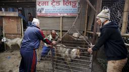 Sejumlah pria saat menimbang seekor kambing akan dijual disebuah pasar ternak di Kathmandu, Nepal, Kamis (15/10/2015).   Kambing - kambing ini akan dijual untuk dikorbankan dalam peringatan festival keagamaan ini. (REUTERS/Navesh Chitrakar)