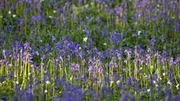 Bunga bluebells liar terlihat mengubah lantai hutan menjadi biru, membentuk karpet di Hallerbos, juga dikenal sebagai 'Hutan Biru', dekat Halle, Belgia (18/4). (Reuters/Yves Herman)