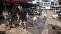 Pedagang hewan kurban menarik kambing di Pasar Kambing, Tanah Abang, Jakarta, Selasa (6/7/2021). Pedagang di Pasar Kambing mengungkapkan penjualan hewan kurban tahun ini mengalami penurunan akibat diberlakukannya PPKM Darurat. (merdeka.com/Iqbal S. Nugroho)