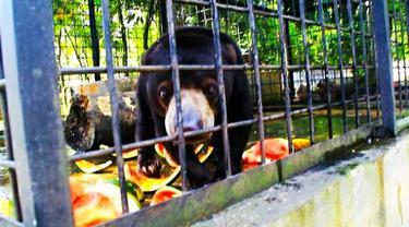 Beruang madu yang pernah diselamatkan warga dan diserahkan ke BBKSDA Riau.