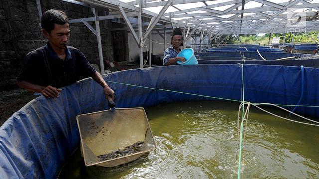 Melihat Budidaya Lele dengan Metode Probiotik di Bogor