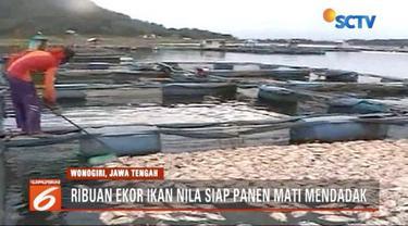 Akibat perubahan suhu drastis, ribuan ikan nila panen mati mendadak di Waduk Gajah Mungkur,  Wonogiri, Jawa Tengah.