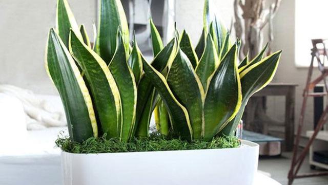 1. Snake Plant (lidah mertua)