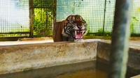 Harimau sumatra di Riau yang direlokasi BBKSDA Riau karena konflik dengan manusia. (Liputan6.com/M Syukur)