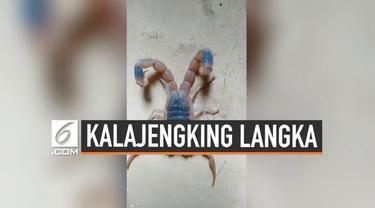 Seorang wanita menemukan kalajengking langka yang lahir dengan ekor bercabang dua di China. Ia menyimpan kalajengking tersebut sebagai hewan peliharaan.