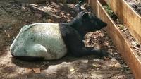 Tapir yang pernah dievakuasi BBKSDA Riau karena terjerat di kebun masyarakat. (Liputan6.com/M Syukur)