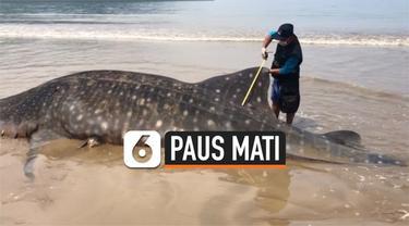 Seekor paus mati terdampar di pantai Sumatera Barat. Sebelumnya paus tersangkut pukat milik nelayan, saat ingin dilepas paus keburu mati.