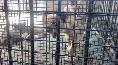 Salam Pagi dari 3 Bayi Singa Afrika di Taman Satwa  Cikembulan