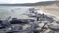 Paus pilot sirip pendek (Globicephala macrorhynchus) terdampar di Hamelin Bay, Australia Barat pada Jumat, 23 Maret 2018. Hanya 15 ekor yang hidup dan dilepaskan ke laut, sisanya mati. (Department of Biodiversity, Conservation and Attractions)